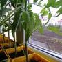 Больные листочки на рассаде помидоров. Что это и как лечить?