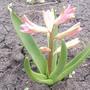 Помогите, пожалуйста, разобраться, почему гиацинты в этом году имеют так мало соцветий?