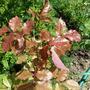На одном из кустов розы появились красные листья. В чем причина?
