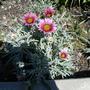 Помогите определить, что это за цветы?