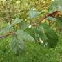 Кто проедает листья винограда, сливы, молодых яблонь?