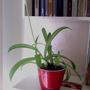 Помогите определить название комнатного растения
