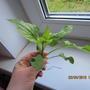 Что за сорняк такой? Размножается корневищем