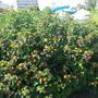 Как называется это цветущее растение? Будет ли оно расти в Казахстане?
