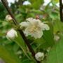 Как выращивать актинидию коломикту на шпалере?
