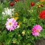 Цветут георгины...