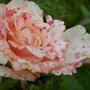 Это такая расцветка у розы или заболевание?