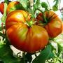 Как правильно выбрать томат на семена?