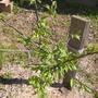 RE: SOS, теряем деревце Алычи!!! Залечила до цветения)))))))