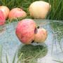 Яблоко с двумя огрызками