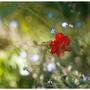 """Аленький цветочек """"гравилат"""""""