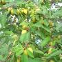 Вы пользуетесь ловчими поясами для фруктовых деревьев?