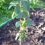 У кого-нибудь растет колоновидная яблоня Ранетка золотая?