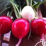 Почему редис, посаженный поздним летом, дает отличный урожай, а ранней весной - вообще не растет?