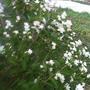 Что растет на нашем участке  чубушник или жасмин?