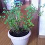 Можно ли сейчас срезать ветки миниатюрной китайской розы  для вегетативного размножения?