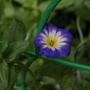 Подскажите, пожалуйста, название цветочка