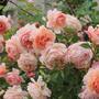 Королевы моих цветников