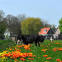 Едят ли коровы тюльпаны?
