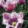 Тюльпаны, которые я выращивал или видел у своих друзей