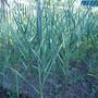 Как вырастить свои семена озимого чеснока?