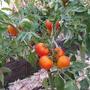 Золотая Тёща — томаты из серии Чудо-помидоров от НПО «Сады России». Высокоурожайный, с красивыми, ярко-оранжевого цвета плодами.