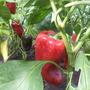 Перец сорта Красный великан — вытянутой формы, от 18 см в длину, ярко-красного цвета. Производитель семян — «Самарские семена» Песчаная Глинка(г. Самара)