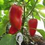 Рафаэль — симпатичные, не особо крупные перцы. Толщина стенки 5-6мм, сочные, ароматные перчики.  Производитель семян — НПО «Сады России»