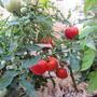 Помидоры Сочельник — просто сказочной красоты кусты и плоды. Рекомендую всем для выращивания этот среднепоздний гибрид. Кожица плотная, плоды правильной округлой формы. Сочные, красные, красивые.  Производитель семян — НПО «Сады России»