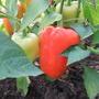 Оранжевая красавица — замечательный раннеспелый сорт. Плоды крупные, сочные, запашистые, в биологической спелости очень привлекательны формой и оранжево-золотистым цветом.  Производитель семян — НПО «Сады России»