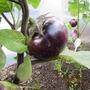 Баклажаны Шалун имеют грибной вкус и шаровидную форму. Плодов мало, но они преимущественно массивны( до 1 кг). На любителя.  Производитель семян — НПО «Сады России».