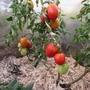 Царевна Лебедь — высокоурожайный гибрид помидоров. Формировала в 2 и 3 стебля. Многочисленные помидоры сливовидной формы с «носиком» очень вкусные, сладкие. Мне очень понравились.  Производитель семян — НПО «Сады России»