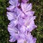 Вредители и болезни гладиолусов - как цветоводу с ними справиться