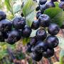 Арония черноплодная - кладезь витаминов