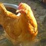 Курица деревенская дворовая или курица с паспортом?