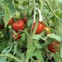 томат катя ф1, с 1 кв. м собирают до 15 кг помидоров, уже во всю растут сидераты, и жаль кусты выдергивать, плоды все еще зреют!