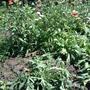 Помогите опознать растение!