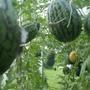 Несмотря на то, что в этом году отличный результат был получен и в открытом грунте, выращивание бахчевушек в теплице остается для меня приоритетным, ведь там есть все условия для получения раннего урожая! Первый тепличный арбузик в этом году мы съели 17 июля (Ленинградская область), а дыньки едим с начала августа. Арбузы в теплице я формирую в один-два стебля (чаще в один), оставляя на плети один арбуз, поэтому урожайность в дальнейшем буду указывать только там, где она мне известна от производителя.