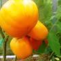 Хурма, сорт среднего созревания (120 дней), крайне малое количество органических кислот делает этот томат диетическим. Среднерослый (1 -1,5 м), для теплиц. Плоды до 300 г, очень правильной формы, красивые. Консистенция и вкус очень нежные. Плоды богаты каротином