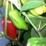 Перец Атлант F1. Раннеспелый. Крупные, мясистые длинные плоды. На каждой ветке до 5 плодов одновременно.