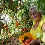 Это один куст Черри Жёлтая Вишня уже после неоднократных сборов. Сорт ранний (95 дней), высокорослый, для плёночных укрытий и теплиц. Плоды растут гроздьями, жёлтые шарики до 20 г. Очень сладкие и декоративные.