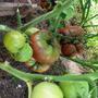 Чёрный Крым, Высота индетерминантных кустов180 см, не являются штамбовыми, составляет около 180 сантиметров. Не гибрид, можно собирать семена.