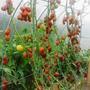 Де Барао Чёрный — очень урожайный сорт.