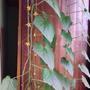 """Кто-нибудь выращивал огурцы """"балконное чудо"""" фирмы Беккер?!"""