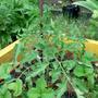 Высокорослые томаты выпустили бутоны, не рано ли?