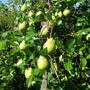 Тонкие ветви дерева груши, что делать?