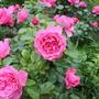 Мои прекрасные розы