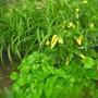 Желтые листики - как называется растение?
