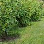 Как посадить смородину и крыжовник осенью (видео)
