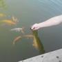 Как и из чего в домашних условиях можно сделать сухой корм для прудовых рыб?